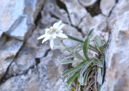 natural habitat: Edelweiss (Leontopodium alpinum) in natural habitat