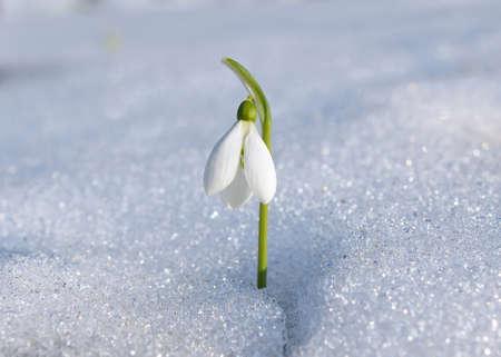 nivalis: Snowdrop (Galanthus nivalis) Stock Photo