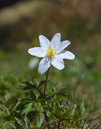 windflower: Anemone nemorosa, common names include wood anemone, windflower, thimbleweed and smell fox