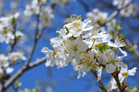 apricot tree: White apricot tree flowers in spring