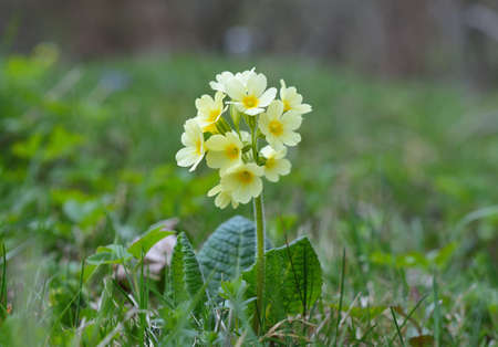 primula veris: Cowslip Primula veris Stock Photo
