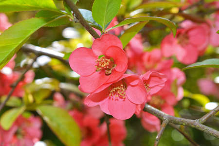 japonica: Japanese quince Chaenomeles japonica flowers