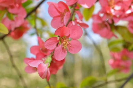 Japanese quince Chaenomeles japonica flowers photo