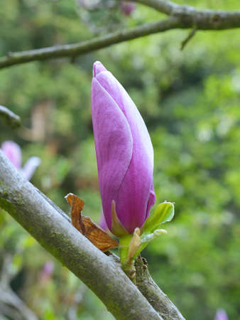 magnolia soulangeana: Saucer magnolia Magnolia soulangeana