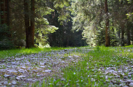 road and path through: Forest road through a spruce forest