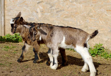 yeanling: Baby goats at farm Stock Photo