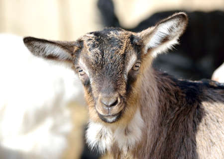 fidgety: Baby goats at farm Stock Photo