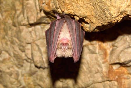 Lesser Horseshoe Bat Rhinolophus hipposideros