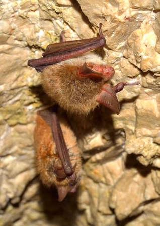 membranes: Bechsteins bat (Myotis bechsteinii) Stock Photo