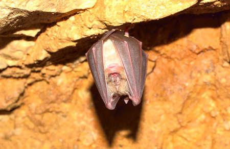 membranes: Lesser Horseshoe Bat (Rhinolophus hipposideros)