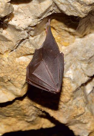 membranes: Greater horseshoe bat ( Rhinolophus ferrumequinum)