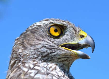accipiter gentilis: Northern Goshawk (Accipiter gentilis)