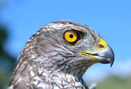 yellow tailed: Northern Goshawk (Accipiter gentilis)