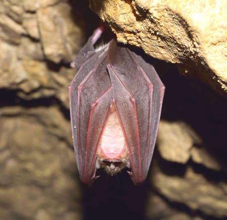 sedentario: Mayor murciélago de herradura (Rhinolophus ferrumequinum)
