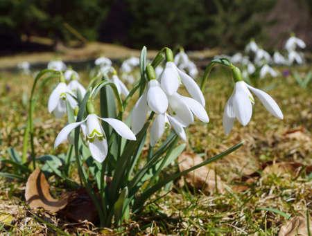 galanthus: Snowdrops (Galanthus nivalis)
