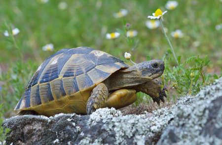 slowly: Spur tortuga graeca Testudo graeca Foto de archivo