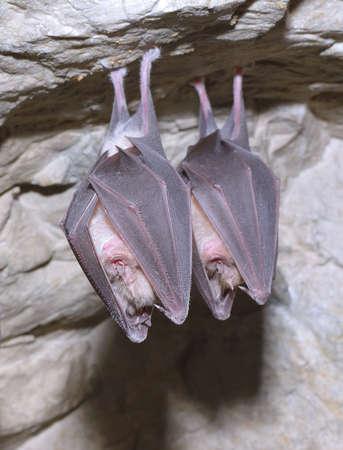 membranes: Greater horseshoe bat Rhinolophus ferrumequinum