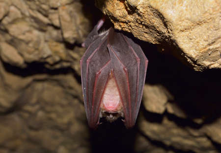 sedentario: Mayor murciélago de herradura Rhinolophus ferrumequinum