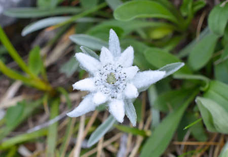 natural habitat: Edelweiss Leontopodium alpinum in natural habitat