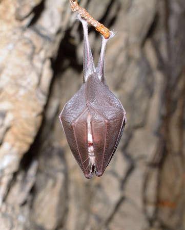 membranes: Lesser Horseshoe Bat Rhinolophus hipposideros