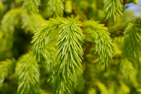 lonliness: Closeup of new branch Spruce Picea abies Stock Photo