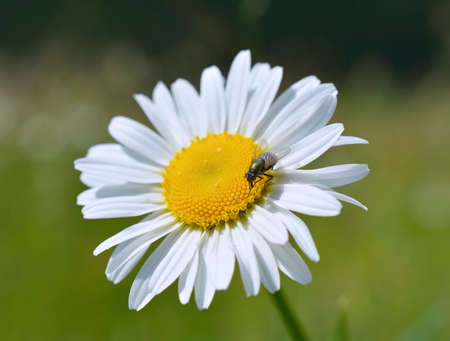 vulgare: Oxeye daisy Leucanthemum vulgare flower Stock Photo