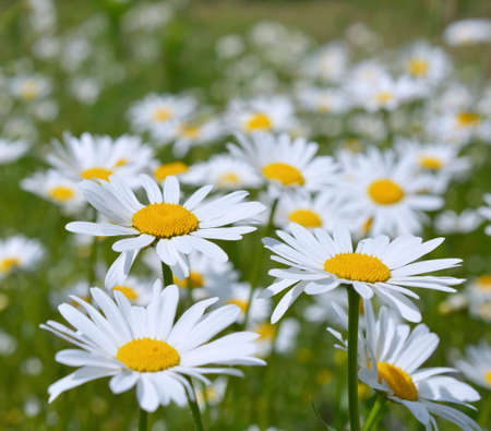oxeye: Oxeye daisy Leucanthemum vulgare flowers in grass