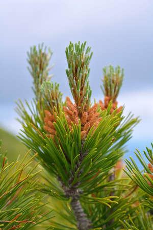 mugo: Mountain pine Pinus mugo
