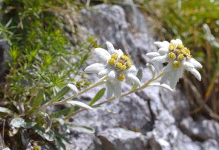 Edelweiss Leontopodium alpinum im natürlichen Lebensraum Standard-Bild - 46776174