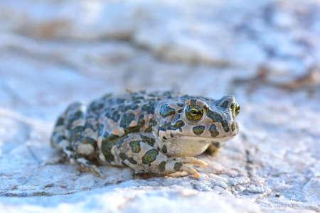 bufo toad: European Green Toad Bufo viridis