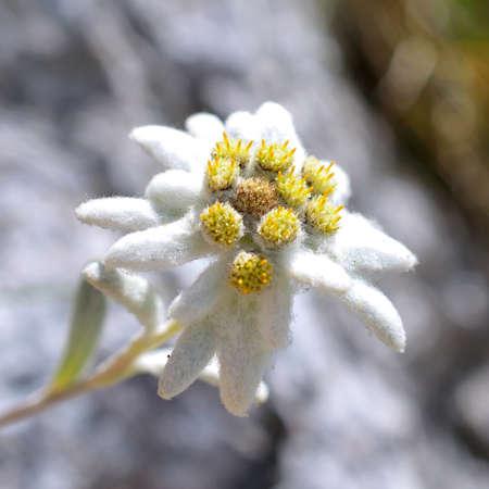 エーデルワイス Leontopodium alpinum 写真素材