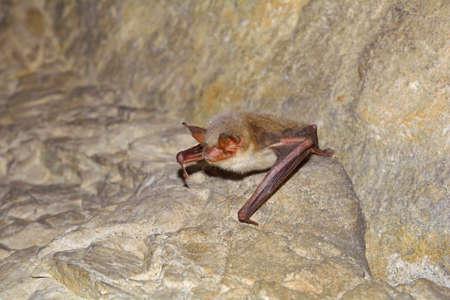 Greater mouse-eared bat  Myotis myotis