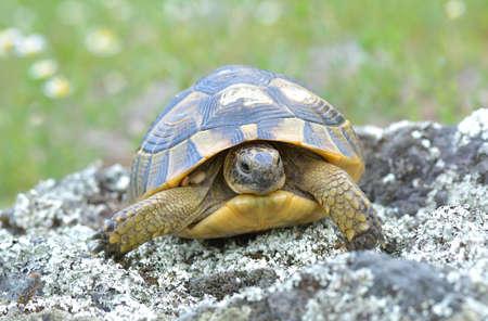 centenarian: Spur thighed turtle Testudo graeca