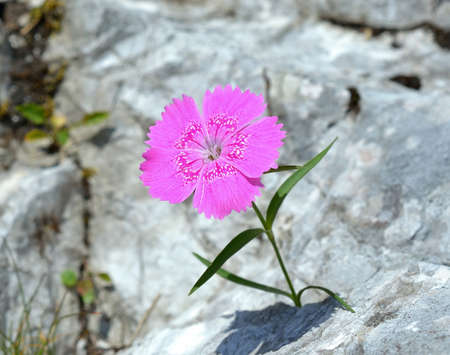 rare rocks: Dianthus callizonus, endemic plant for Piatra Craiului Mountains Romanian Carpathians