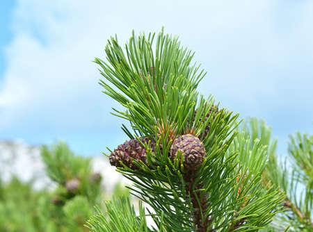 mugo: Branch with cone. Pinus mugo, known as mountain pine, dwarf mountain pine, scrub mountain pine