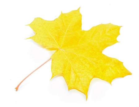 acer: Autumn Acer pseudoplatanus leaf