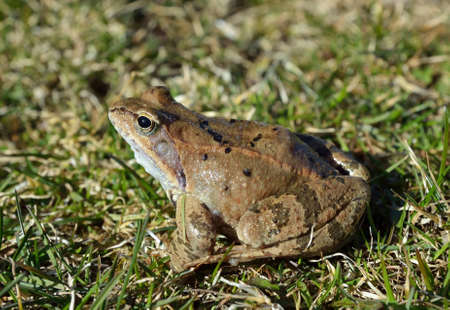 frog green: The Common Frog, Rana temporaria also known as the European Common Frog