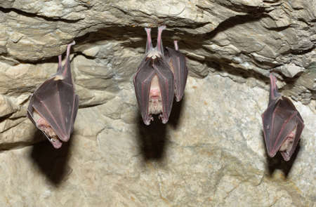 bat animal: Lesser Horseshoe Bat Rhinolophus hipposideros