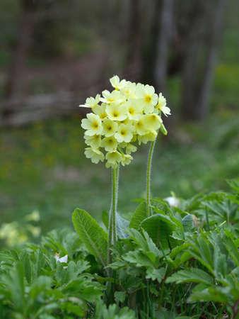 primula: Cowslip Primula veris flowers