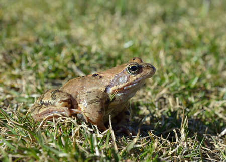 rana: The Common Frog, Rana temporaria also known as the European Common Frog