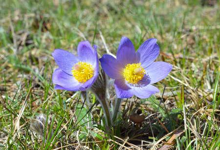 pasqueflower: Mountain Pasqueflower Pulsatilla montana