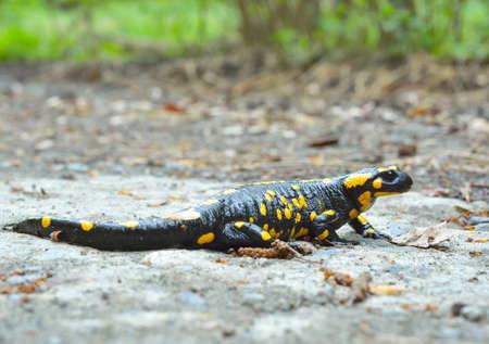 salamandre: salamandre commune