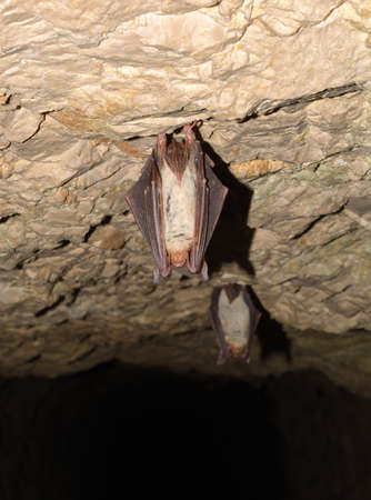 caving: Lesser mouse-eared bat (Myotis myotis)