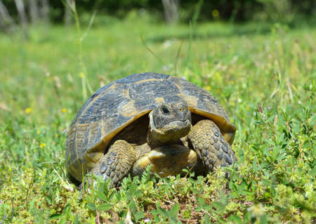 centenarian: Spur thighed turtle (Testudo graeca) Stock Photo