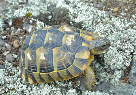 spur: Spur thighed turtle (Testudo graeca) Stock Photo