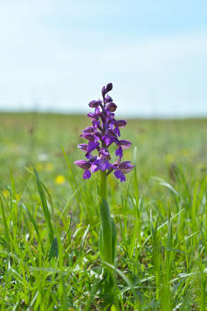 orchidaceae: The Green-winged Orchid (Anacamptis morio), green-veined orchid is a flowering plant of the orchid family, Orchidaceae