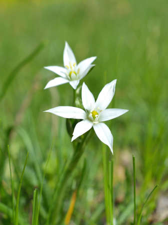 southern europe: Ornithogalum is a genus of perennial plants mostly native to southern Europe and southern Africa