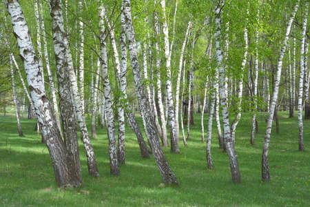 betula pendula: Common birch, Betula pendula forest