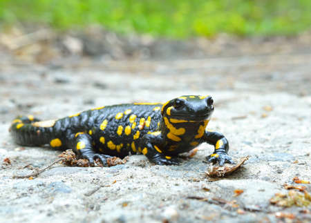 salamandre: Common salamander