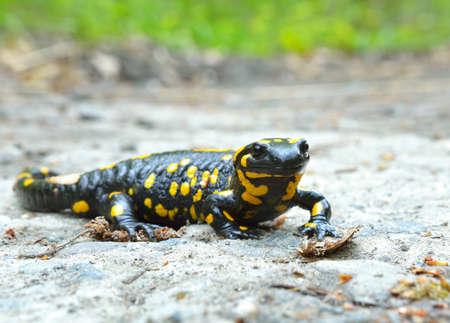 salamandra: salamandra común